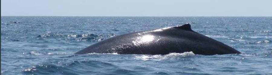 Whale Watching Tour to Taboga Island