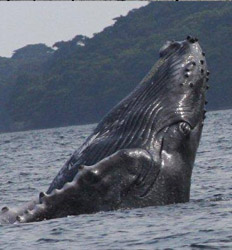 Whale Watching Tour from Contadora Island
